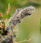 Buff tip Caterpillars-3037