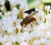 Dung fly - 2625