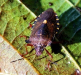 Forest Bug -Pentatoma rufipes - 3090