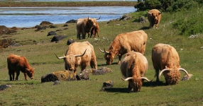 Highland Cattle family - 8018