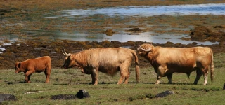 Highland Cattle family - 8061