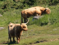 Highland Cow and Bull - 8032