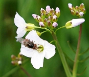 Hover Fly on Mayflower_5659
