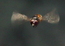 Hoverfly (Rhingia campestris) flying