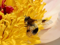 Hoverfly (Volucella pellucens) on Peony