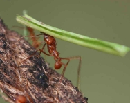 Leafcutter ant-Oasis_0681