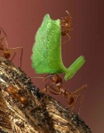 Leafcutter ants-Oasis_0638