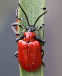Lily Beetle - 1214