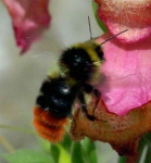 Male Red Tailed BumbleBee-1677