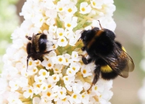 Male and female Bees - 2580