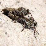 Mating flies - no identity - 8082