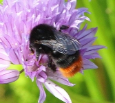 Red Rumped Bee on Chives-0855