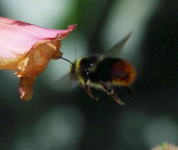 Red Tailed BumbleBee flying -1687