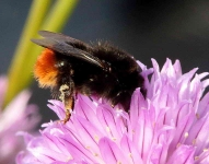 Red Tailed Worker BumbleBee on Chives-0722