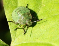 Shield Bug-0015-b