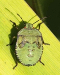 Shield bug-a-0015