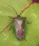 Shield bug_0763