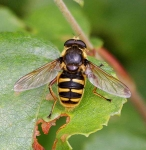 Wasp fly-3040