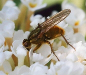 Yellow Dung fly - FB1P2625