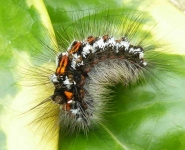 Yellow tailed moth caterpillar - 0615