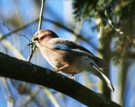 Jay with nest material - 7640