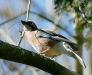 Jay with nest materieal - 7643