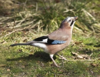 Jay with nuts - 4069