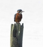 Kingfisher on post - 5435