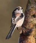 long-tailed-tit-0469