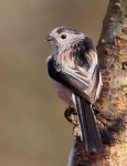 long-tailed-tit-0472