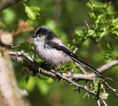 long-tailed-tit-2318