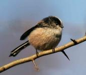 long-tailed-tit-2966