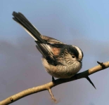 long-tailed-tit-2967