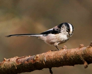 long-tailed-tit-3030
