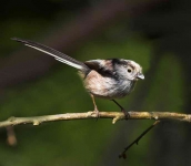 long-tailed-tit-3186