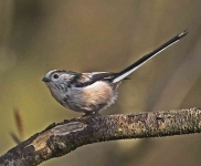 long-tailed-tit-3472