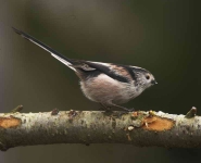 long-tailed-tit-3536