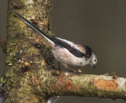 long-tailed-tit-3568