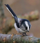 long-tailed-tit-3634