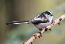 long-tailed-tit-3689