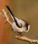 long-tailed-tit-4636