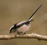 long-tailed-tit-4699