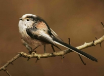 long-tailed-tit-5083