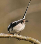 long-tailed-tit-5158