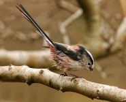 long-tailed-tit-5297