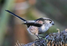 long-tailed-tit-5491