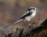 long-tailed-tit-5908
