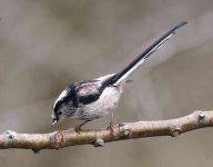 long-tailed-tit-6224
