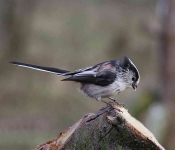 long-tailed-tit-6574