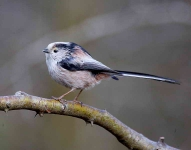 long-tailed-tit-7217